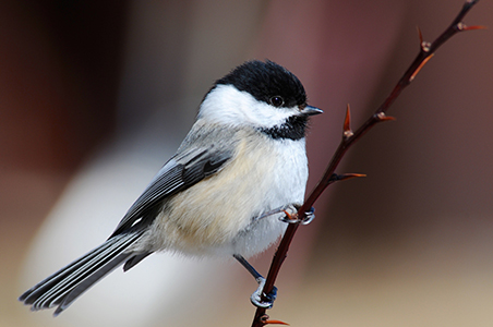 Chickadee by Sandy Updyke