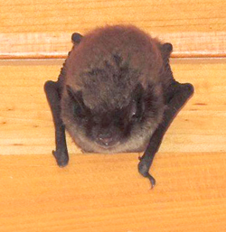 A Little Brown Bat (Myotis lucifugus)